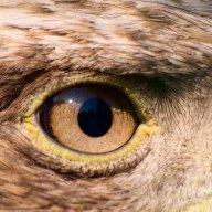 Hawk-eye