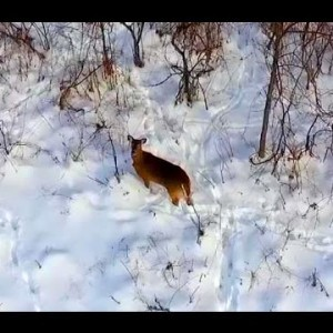 Drone vs Deer - YouTube