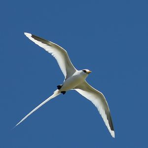 White-tailed_tropicbird