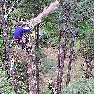 How to Remove a 107 Ft. Pine Tree From Your Yard - Call a Professional Tree Service!