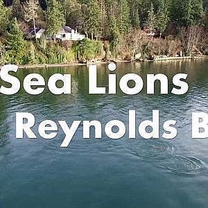 Sea lions in Reynolds Bay - YouTube